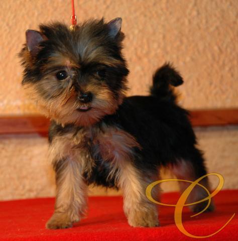 Cachorrita de Yorkshire terrier. 3 meses