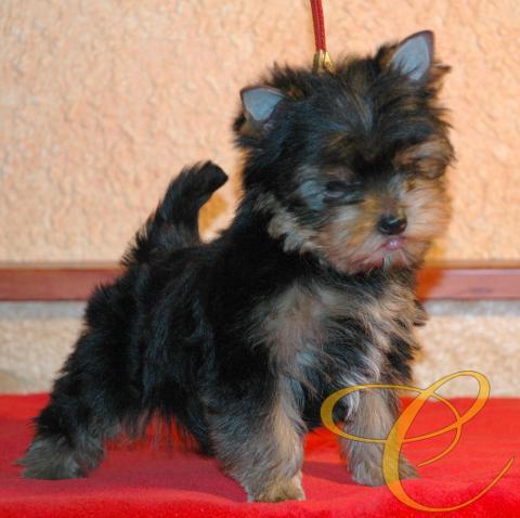Magnifico cachorro de Yorkshire terrier