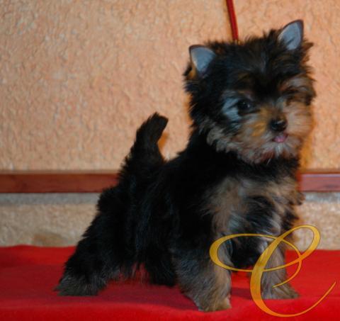 Magnifico cachorro de Yorkshire terrier. 2 meses
