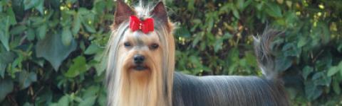 Caramelo de Coramonte, Yorkshire Terrier, España, Madrid, Jesús Montero.